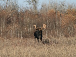 MooseHunting-AlbertaRiverValleyLodge3