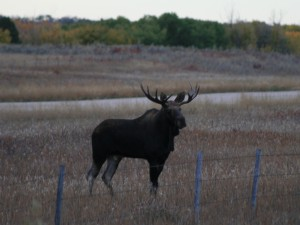 MooseHunting-AlbertaRiverValleyLodge8